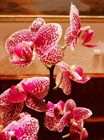 Flowers Pink Color Flower Plant Flowering Plant Beauty In Nature Vulnerability  Freshness Fragility Close-up Growth Petal No People Nature Flower Head Inflorescence Indoors  Orchid Botany Day Pollen