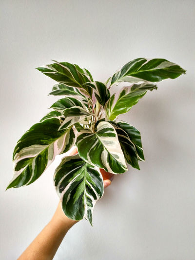 Close-up of hand holding plant against white background