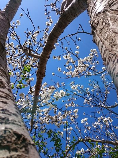 Ciliegio in fiore, Cherry Tree Cherry Blossoms Cherry Tree Flower Cherry Blossom Viewing Nature No People Outdoors Beauty In Nature Day Flowers In Bloom Nature_ Collection  Tree Low Angle View Sky Close-up My Gardenin San Cipirello, Italy Springtime