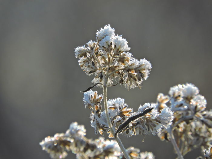 Frosted Mornings Plant Fragility Beauty In Nature Flower Vulnerability  Flowering Plant Growth Close-up No People Focus On Foreground White Color Day Nature Freshness Cold Temperature Snow Selective Focus Winter Springtime Outdoors Flower Head Cherry Blossom Wilted Plant