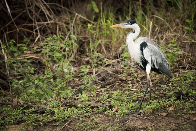 Animal Themes Animal Wildlife Animals In The Wild Bird Close-up Cocoi Heron Day Grass Nature No People One Animal Outdoors