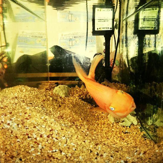 首かしげるパルパルかわええ ;-))) Aquarium Tropical Fish Cute♡ Tilted Head