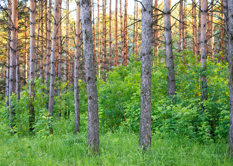 Pine forest in Siberia. Beauty In Nature Coniferous Tree Day Environment Evergreen Tree Forest Grass Green Color Land Landscape Nature No People Non-urban Scene Outdoors Pine Tree Pine Woodland Plant Scenics - Nature Siberia Tranquil Scene Tranquility Tree Tree Trunk Trunk WoodLand