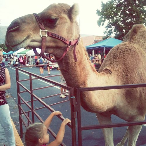 Izzy, the camel. Sure has grown!