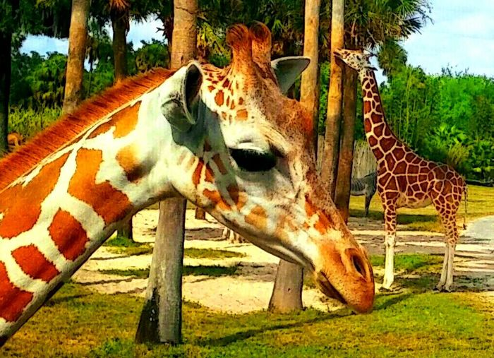 Giraffes! Close-up Safari Animals Taking Pictures Animal Model Safari