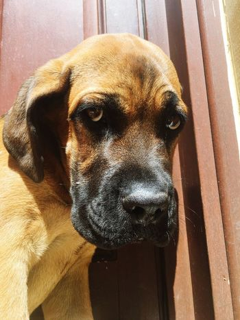 Pets Domestic Animals One Animal Dog Animal Themes Close-up Animal Head  Looking At Camera Mammal Brown Day No People Loyalty Animal Nose Zoology Cane Corso ItalianMastiff Canecorso  Puppy