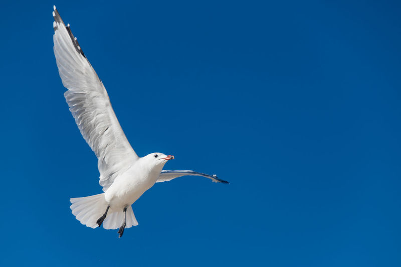 Mallorca Seagull Seagull Bird Animal Animal Themes Animals In The Wild Animal Wildlife Vertebrate One Animal Flying Spread Wings Blue Sky Low Angle View No People White Color Mid-air Day Nature Clear Sky Motion