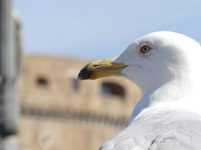 Close-up of seagull against blurred background
