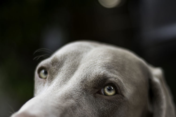 Close up portrait of my weimaraners eyes. Shallow Depth Of Field Animal Head  Animal Themes Close-up Day Dog Domestic Animals Focus On Foreground Green Eyes Indoors  Mammal No People One Animal Pets Weimaraner