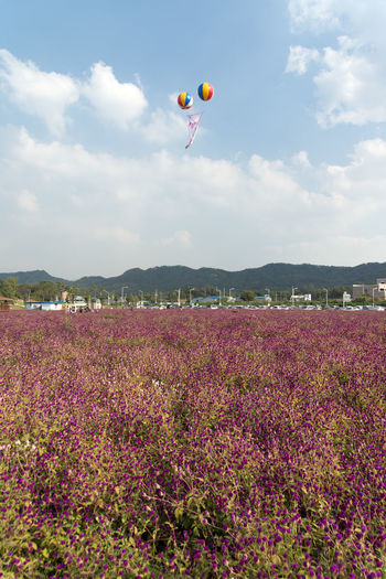 festival of globe amaranth flower with bellvedere at Nari Park in Yangju, Gyeonggido, South Korea Globe Amaranth Flower Adventure Balloon Beauty In Nature Day Field Flower Flying Globe Amaranth Growth Hot Air Balloon Landscape Mid-air Mountain Multi Colored Nature One Person Outdoors Parachute People Real People Scenics Sky Tree