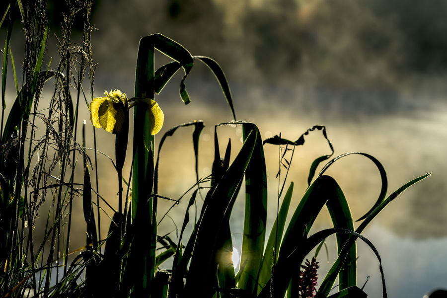 Golden light of early morning from Wild flower of beautiful yellow iris. Summer pond, dawn, first rays of sun. Seasons, ecology, beauty of nature, natural background Golden Iris Morning Light Wildlife Photography Awakening Of Nature Beauty In Nature Blooming Flower Close-up Day Ecology Flower Flower Head Fragility Freshness Goddess Irida Golden Hour Growth Iris - Plant Nature No People Outdoors Plant Sky Sun Rays Wildlife