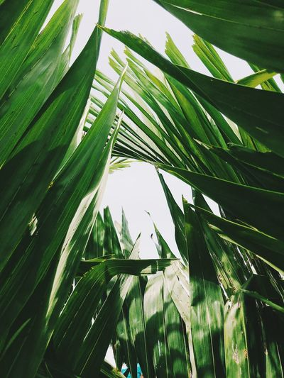 Backgrounds Bamboo - Plant Beauty In Nature Blade Of Grass Close-up Day Green Color Growth Leaf Leaves Low Angle View Nature No People Outdoors Palm Leaf Palm Tree Plant Plant Part Sky Sunlight Tranquility Tree Tropical Climate