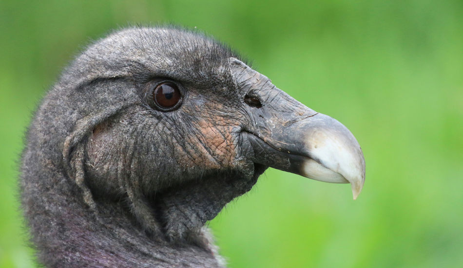Vulture Animal Animal Body Part Animal Eye Animal Head  Animal Themes Animal Wildlife Animals In The Wild Beak Bird Close-up Day Eye Focus On Foreground Gray Nature No People One Animal Outdoors Portrait Profile View Side View Vertebrate
