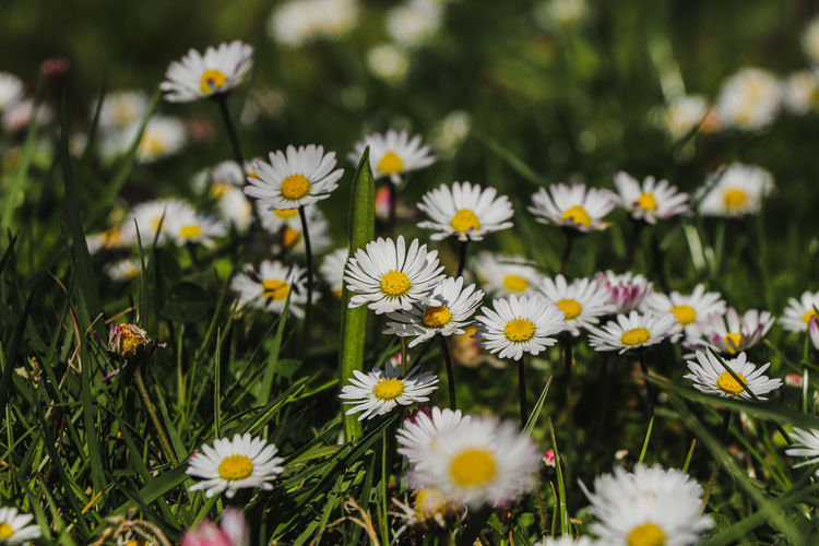 Close-up of daisies on field