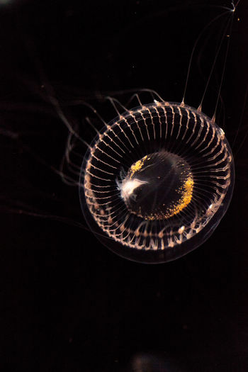 Crystal jellyfish Aequorea victoria is a bioluminescent hydrozoan jellyfish that is found off the west coast of North America Hydrozoan Aequorea Victoria Bioluminescent Black Background Close-up Crystal Jellyfish Jellyfish Jellyfishes Marine No People Sea Life Underwater Photography