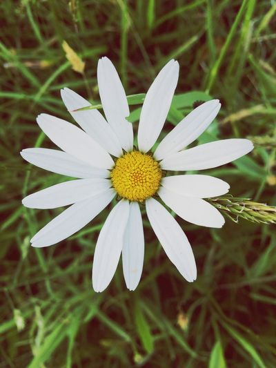 Daisy World Daisy Flower Daisy Nature On Your Doorstep Nature Nature_collection Nature Photography Lifeisbeautiful Plant Flowering Plant Blooming