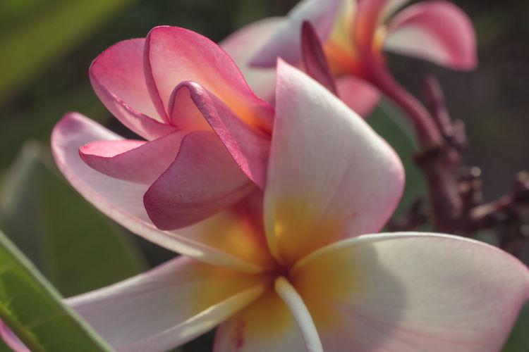 Close-up of frangipani on purple flowering plant