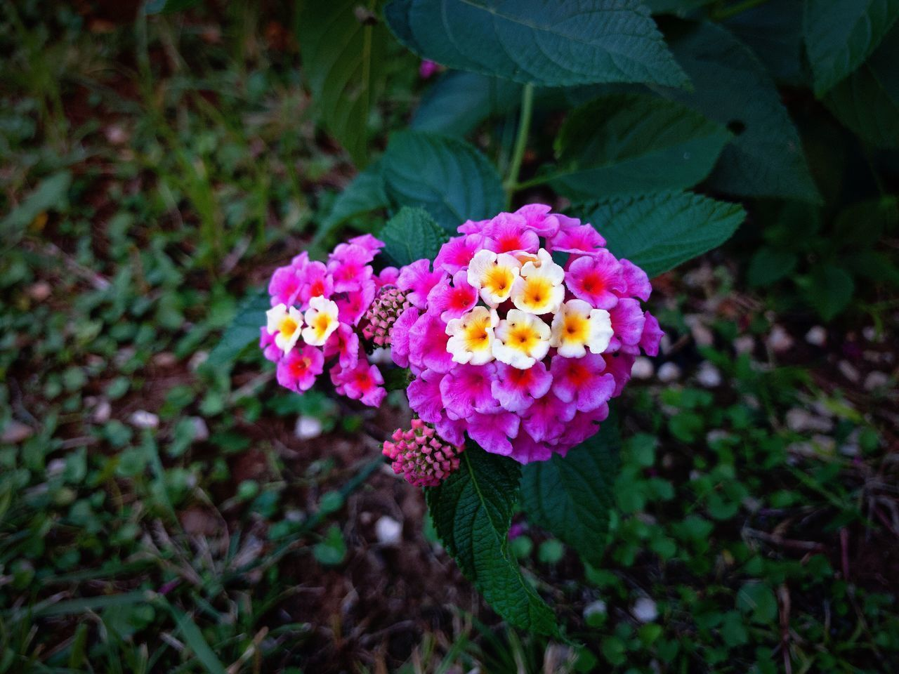 flowering plant, flower, plant, fragility, vulnerability, beauty in nature, freshness, petal, flower head, lantana, inflorescence, growth, close-up, nature, day, plant part, leaf, high angle view, pink color, focus on foreground, outdoors, bunch of flowers