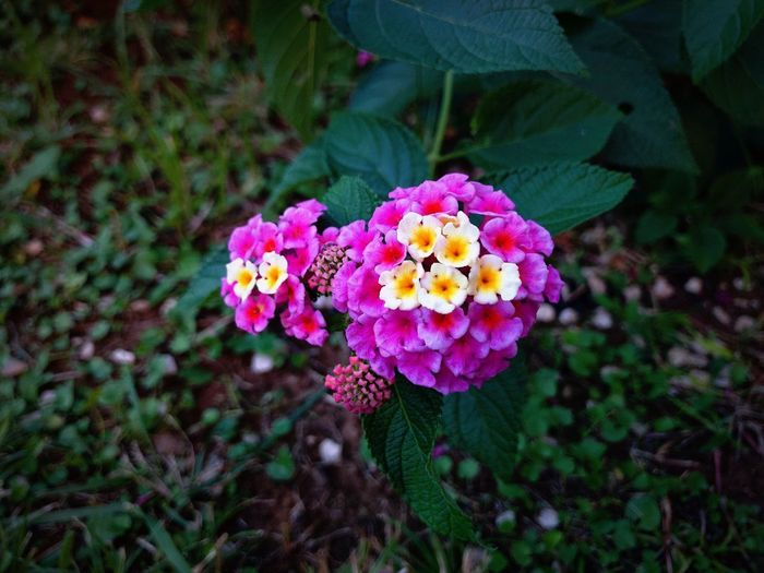 Flowers Flower Flowering Plant Plant Fragility Beauty In Nature Vulnerability  Freshness Flower Head Growth Petal Inflorescence Lantana Nature Close-up Day Plant Part Leaf Focus On Foreground High Angle View Pink Color