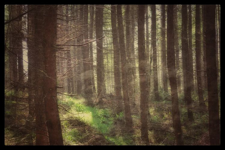 EyeEm Gallery Eyeem Forest Nature_collection Woodland Sun Beauty In Nature WoodLand Eyeem Forest Lovers Natures Magic Our Best Pics Nature EyeEm Best Shots - Nature Background Exceptional Photographs Forest EyeEm Best Shots EyeEm Nature Lover Forest Photography Trees Showcase June Hillsborough Forest Northern Ireland The Magic Mission