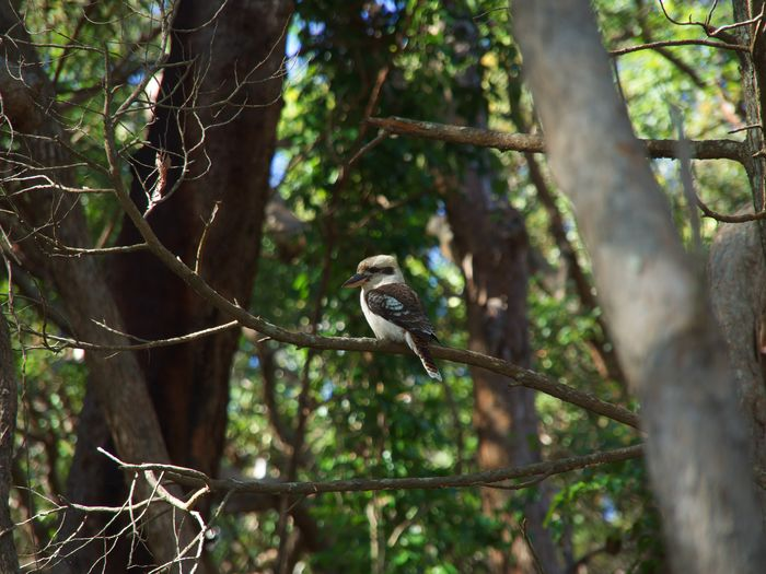 Laughing Kookaburra On A Branch Australia Noosa Noosanationalpark Laughing Kookaburra Bird Animal Wildlife Animal Animals In The Wild Tree Branch Forest Outdoors Nature No People Day Zoology