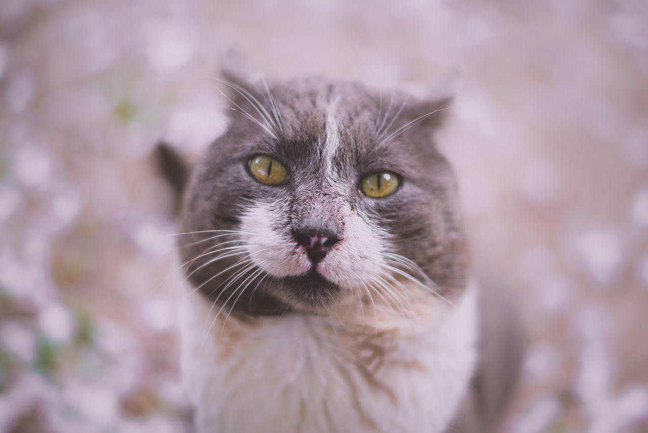 one animal, cat, animal themes, mammal, animal, domestic, feline, pets, domestic cat, domestic animals, vertebrate, whisker, portrait, looking at camera, close-up, animal body part, no people, focus on foreground, front view, day, animal head, animal eye, yellow eyes, snout