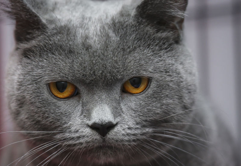Close up. The face of a gray cat with yellow eyes Animal Themes Close-up Day Domestic Animals Domestic Cat Feline Looking At Camera Mammal Nature No People One Animal Outdoors Pets Portrait Whisker