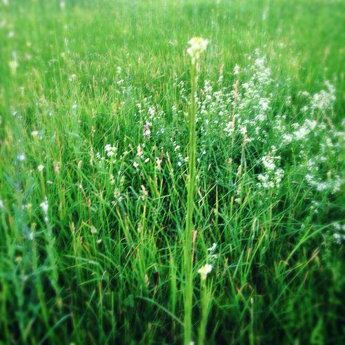 Meadow Clover Grass IPhone5