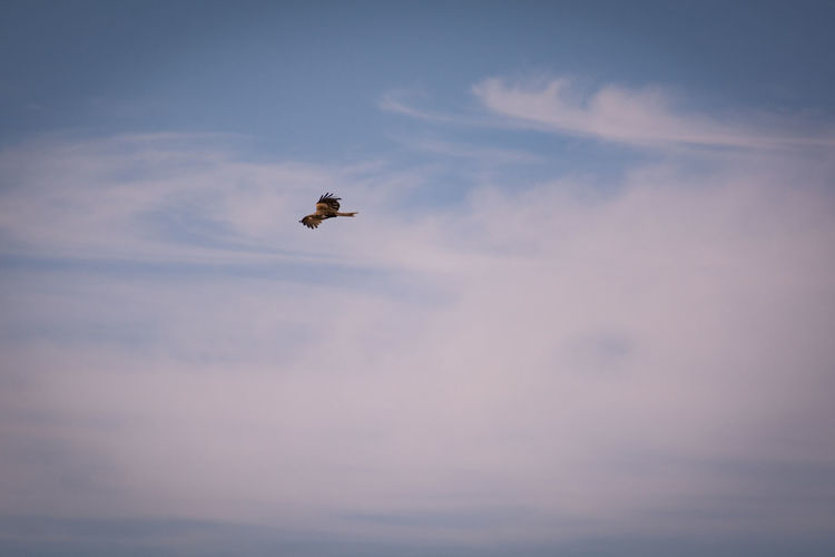 Freedom Animal Themes Animal Wildlife Animals In The Wild Beauty In Nature Bird Bird Of Prey Day Flying Low Angle View Mid-air Nature No People One Animal Outdoors Sky Soaring Up Above Spread Wings Wildlife
