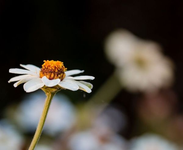 An Oxeye Daisy or so I think... Flower Fragility Petal Flower Head Close-up Plant Nature Beauty In Nature Freshness Black Background Uncultivated No People Growth Defocused Outdoors Macro Nature Photography Nature_collection Daisy Oxeye Daisy Flower Oxeye