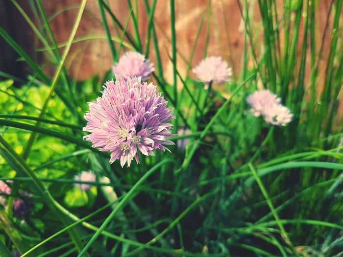 Edible & purdy Flower Purple Plant Nature Beauty In Nature Flower Head Freshness Growth Fragility No People Outdoors Close-up Day Chives Chives, Chives Herbs Chive Chive Flowers Chive Flower Garden Photography Gardening Garden Freshness Tasty Fragrant