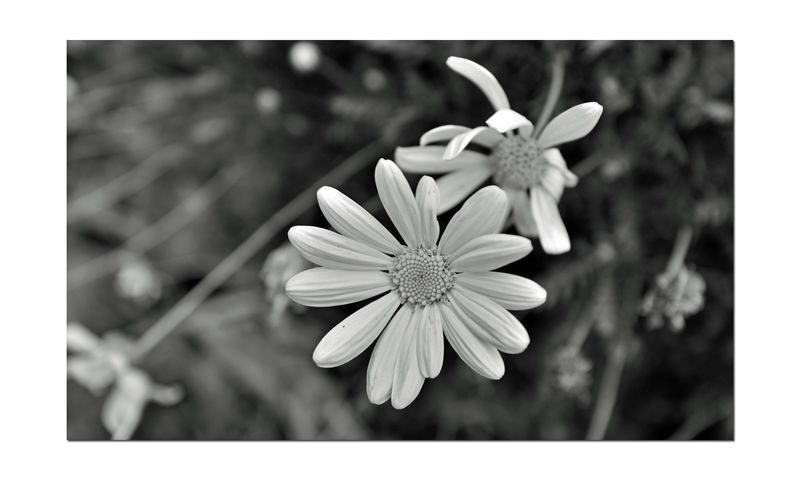Monochrome Flowers 8 The Gardens At Lake Merritt Lakeside Park Oakland, Ca. Flowers Flower_Collection Daisy Daisies Nature Beauty In Nature Nature_collection Monochrome_Photography Monochrome Black & White Black & White Photography Black And White Black And White Collection  Bnw_flowers Botany Horticulture Petal Fragility Close-up