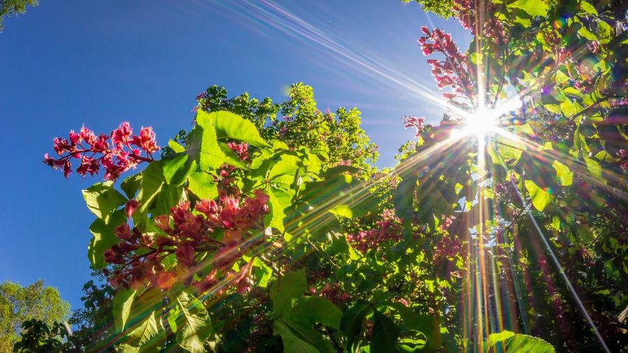 Sky Low Angle View Plant Nature Lens Flare Sunlight Sunbeam Sunny Beauty In Nature Flower Sun Tree