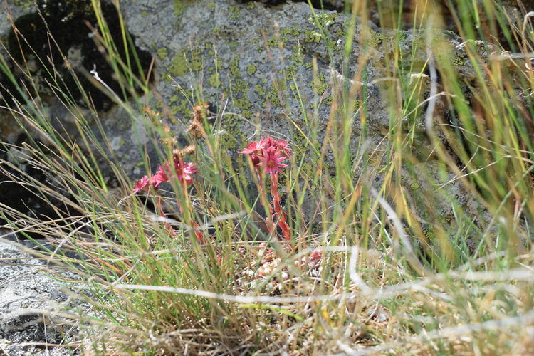 small mountain flower Beauty In Nature Close-up Day Field Flower Grass Growth Nature No People Outdoors Plant Red