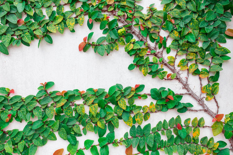 Architecture Beauty In Nature Built Structure Close-up Creeper Plant Day Fragility Freshness Green Color Growth Ivy Leaf Leaves Nature No People Outdoors Plant Plant Part Vine Wall Wall - Building Feature