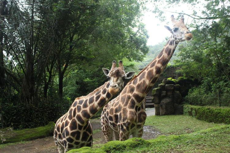 Two Giraffe at