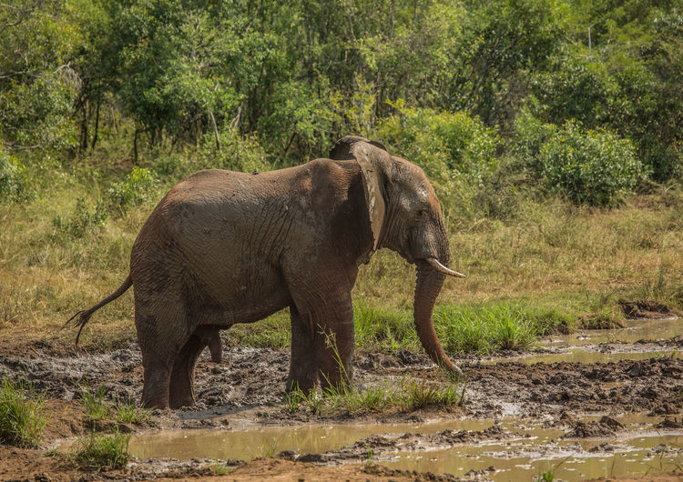 Side view of elephant in the forest