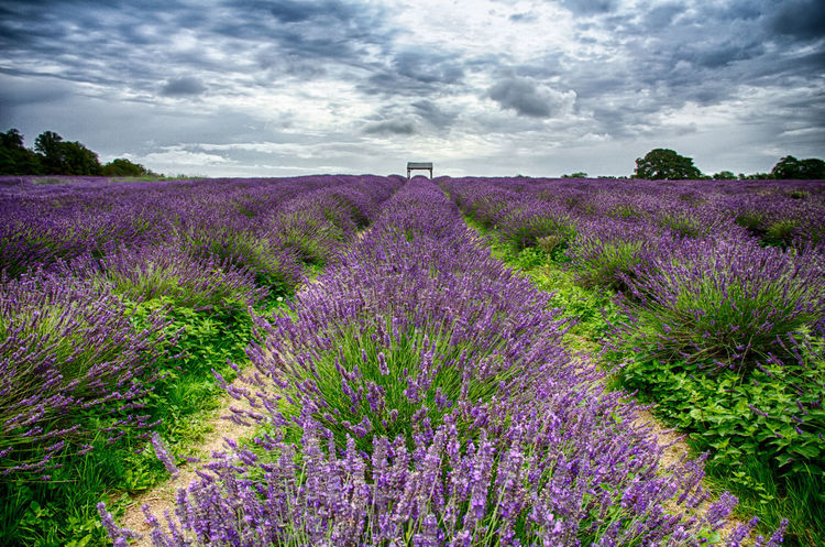 Cloudscape HDR Lavender Farm Lavender Field Agriculture Beauty In Nature Blossom Crop  Field Flower Landscape Lavender Lavender Colored Lavender Flowers Nature No People Outdoors Perfume Plant Purple Rural Scene Sky Summer England Uk Breathing Space Lost In The Landscape