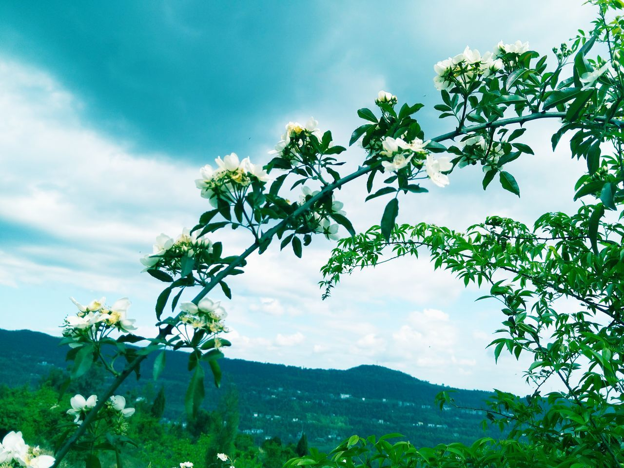 growth, sky, nature, cloud - sky, plant, beauty in nature, tree, day, no people, outdoors, leaf, tranquility, low angle view, scenics, green color, freshness, flower, fragility, landscape, close-up