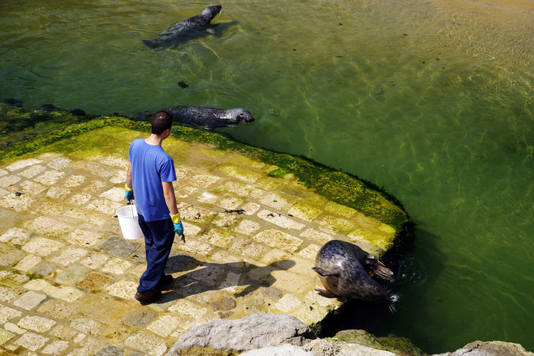 Rear View Of Man Looking At Sea Lions Swimming In Lake