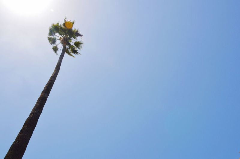 Cali Stifanibrothers Plant Sky Tree Nature Low Angle View Clear Sky Growth Copy Space Flowering Plant Day Blue Beauty In Nature Tropical Climate No People Palm Tree Outdoors Trunk Tree Trunk Tall - High