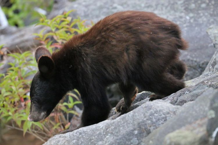 Black Bear in Great Smokey Mountain National Park Animal Animal Themes One Animal Animal Wildlife Animals In The Wild Mammal Vertebrate No People Rock Day Nature Solid Rock - Object Outdoors Bear Side View Black Color Selective Focus Focus On Foreground Black Bear Great Smokey Mountain National Park