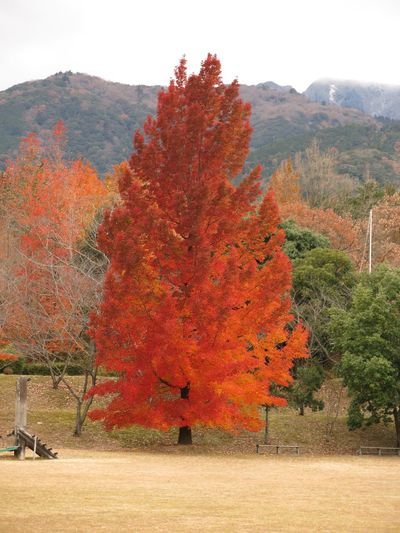 FormosaSweetgum Autumn Tree Nature Change Beauty In Nature Scenics Be. Ready. Landscape Leaf Mountain No People Red Forest Outdoors
