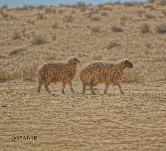 📷 👉 @x3abrr Sheep Lamb عرب_فوتو تصويري  السعودية  غرد_بصورة انستقرام صور صورة صوره تصميم Sony تصوير  كميرا فوتو لايك مضحك من_تصويري هاشتاقات_انستقرام_العربية سياحة عدستي هاشتاق غرد لايك لقطة نكت animals animal عرب saudi