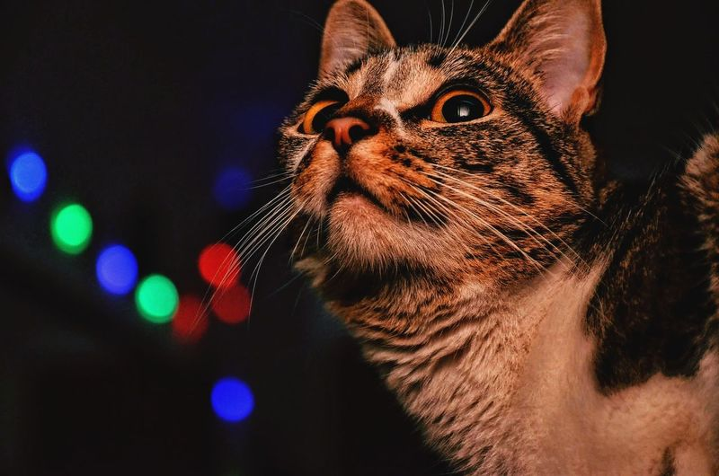 Close-up of cat looking away against illuminated lights at night