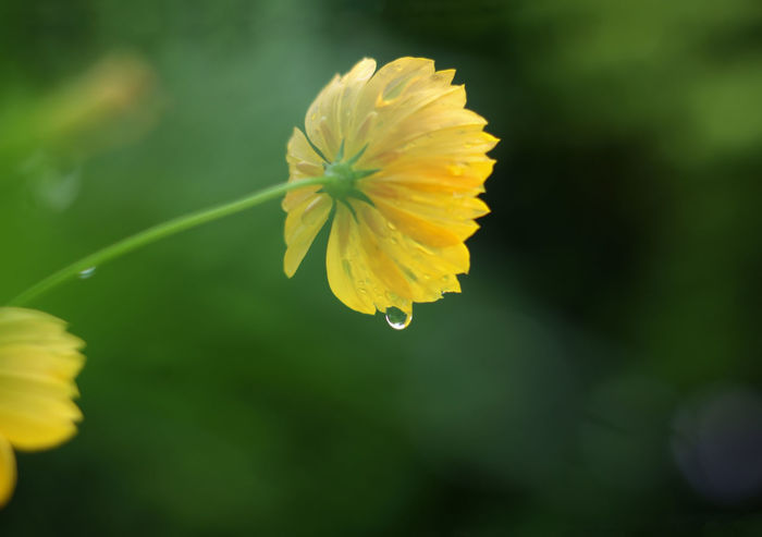 Beauty In Nature Blooming Close-up Copy Space Cosmos Flower Day Droplet Flower Flower Head Flower Stem Fragility Freshness Growth Nature No People Outdoors Petal Plant Rainy Days Rainy Season Water Droplets Yellow