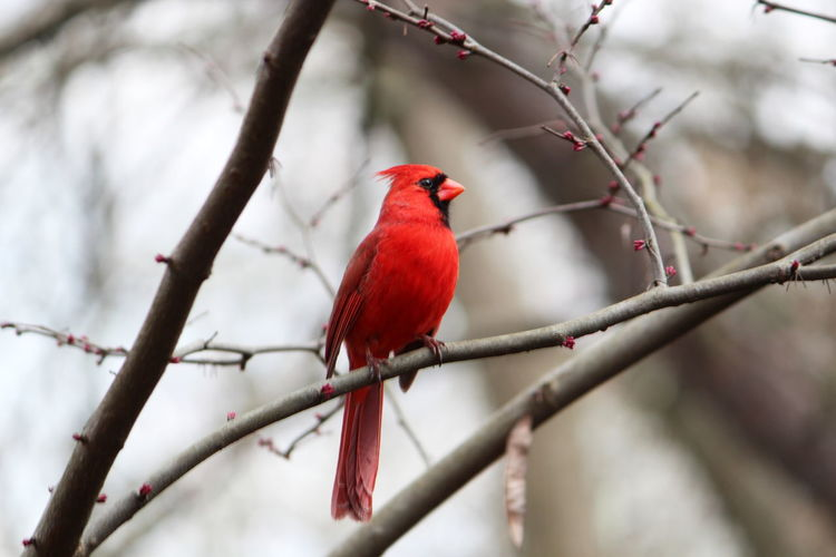 Perching Vertebrate Bird Animal Themes Red Branch Animal Tree One Animal Cardinal - Bird Animal Wildlife Animals In The Wild Plant No People Focus On Foreground Day Beauty In Nature Selective Focus Outdoors Nature