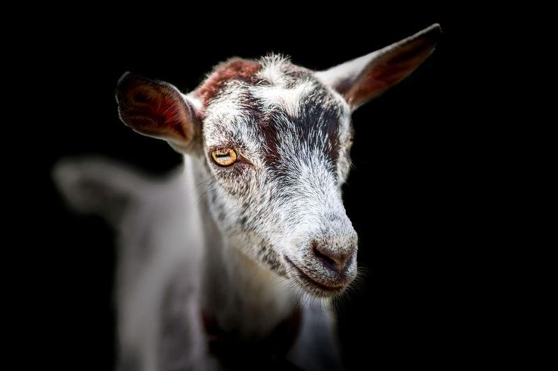 Close-up of kid goat against black background