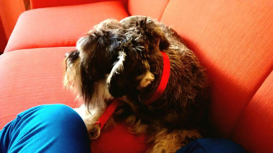 Mylove My Lovely Dog Lukas Pet Snauzer Pimienta Loamo Bebitomaslindodelmundo 😍😍😍😍