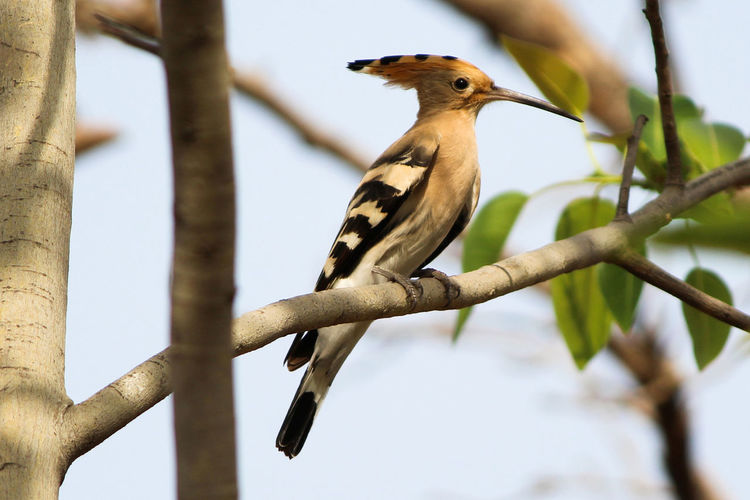 Very colorful species with designer crown. Animal Wildlife Bird Branch Tree Nature Avian Color Colorful Beak Hoopoe Common Hoope